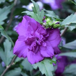 Cottage Farms Tropical Paradise Hardy Hibiscus