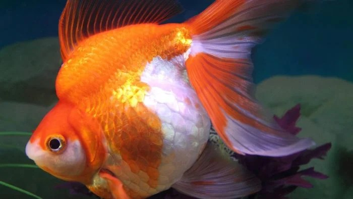 What Are the Signs of a Pregnant Goldfish? | Reference.com