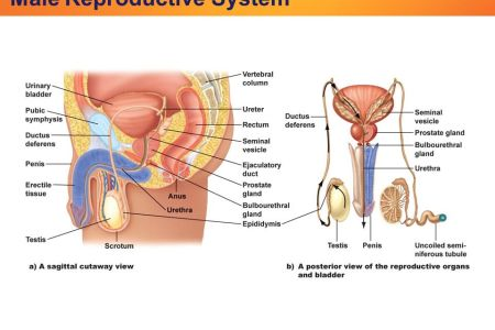Female and male reproductive system full hd pictures 4k ultra female reproductive system organs function and more what parts make up the female anatomy male reproductive organ on female organ male organ in female organ ccuart Choice Image