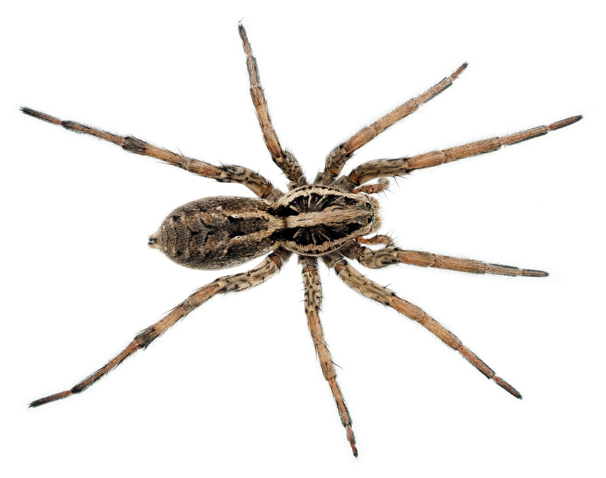Wolf Spider Facts | Wolf Spider Control | TERRO®