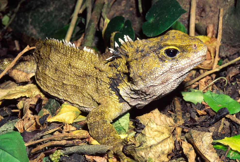 Not a lizard nor a dinosaur, tuatara is the sole survivor ...