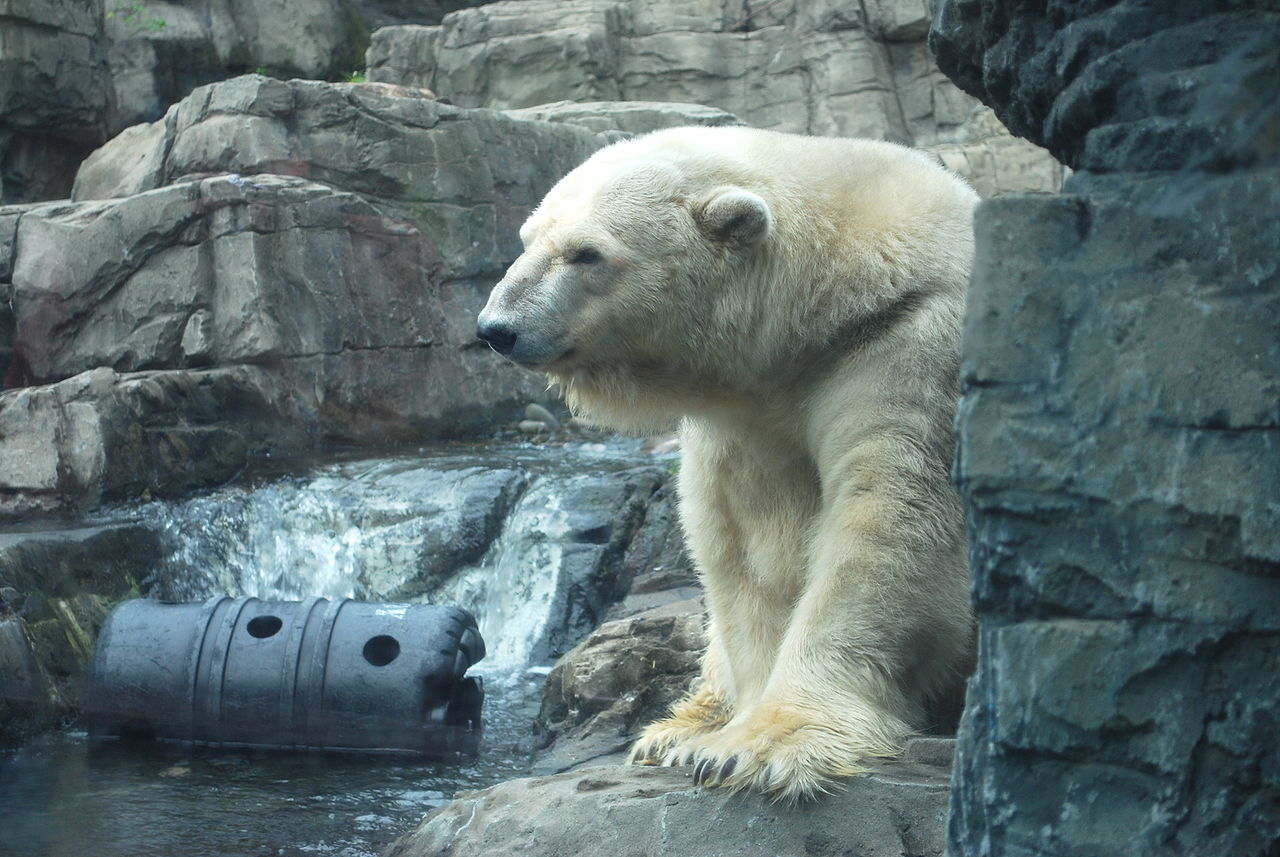 Image of: Polar Bear Confined Hot And Lonely No Wonder Arturo The Depressed Polar Bear Is Shaking His Head The Conversation Confined Hot And Lonely No Wonder Arturo The Depressed Polar Bear