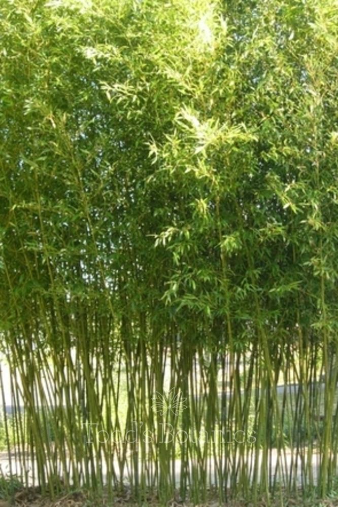 Mature Bamboo Plants Uk