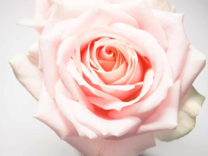 Flower Petals Pictures  HQ    Download Free Images on Unsplash close up photography of pink rose flower