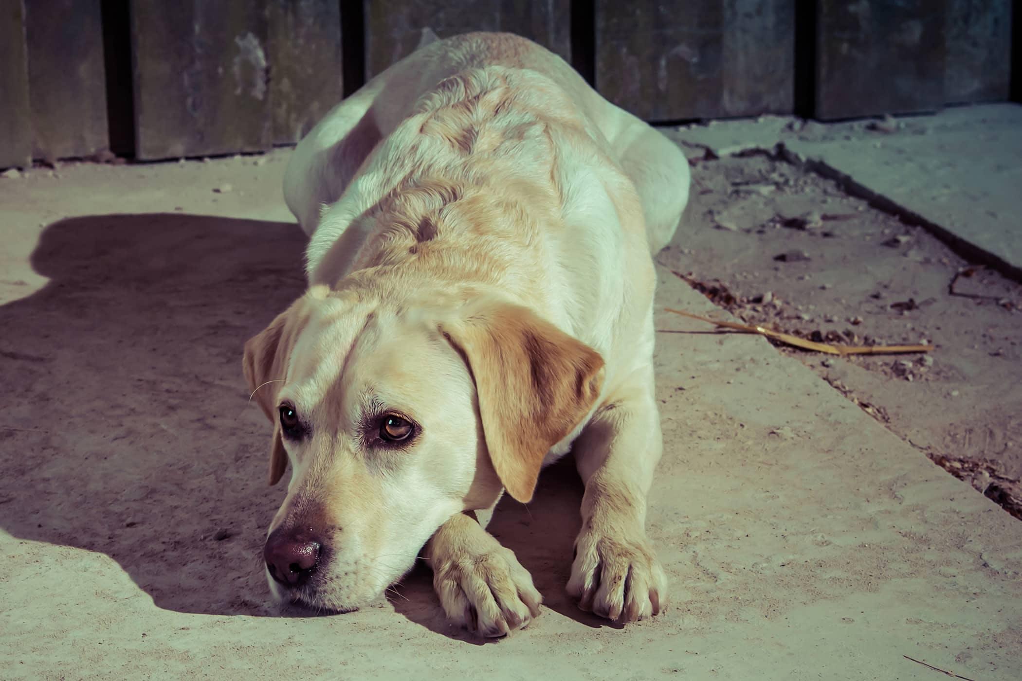 Greater Trochanter Translocation In Dogs Procedure