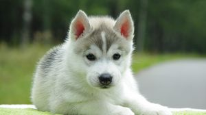 Puppy wallpapers hd  desktop backgrounds  images and pictures     Preview wallpaper puppy  husky  down  cute
