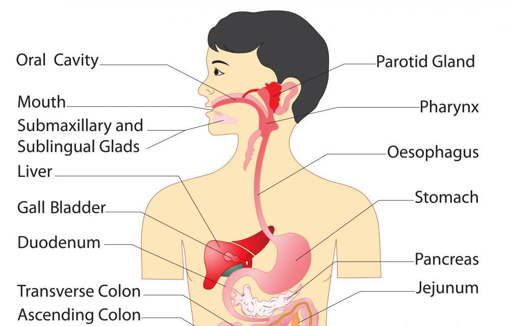 System Digestive Order Major Parts