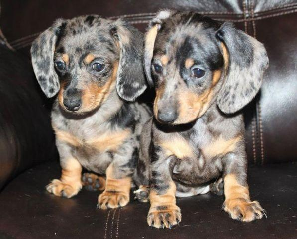 Black And Tan Miniature Dachshund Puppies
