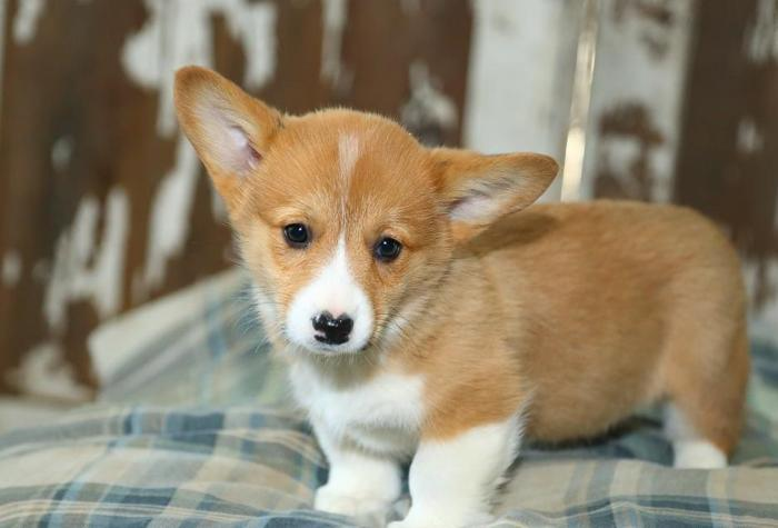 Welsh Corgi Purebred Dogs Adoption