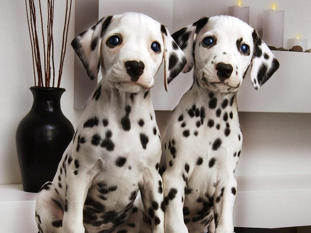 Dalmation Background Great Pictures