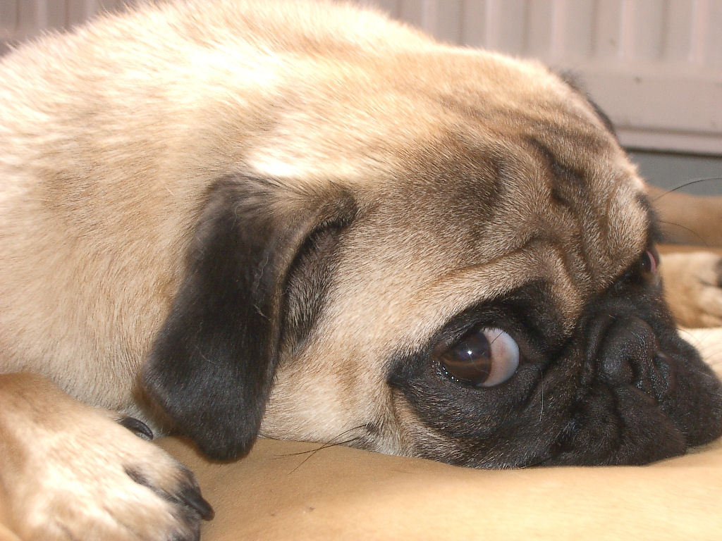 Pug All Small Dogs Wallpaper 14496214 Fanpop