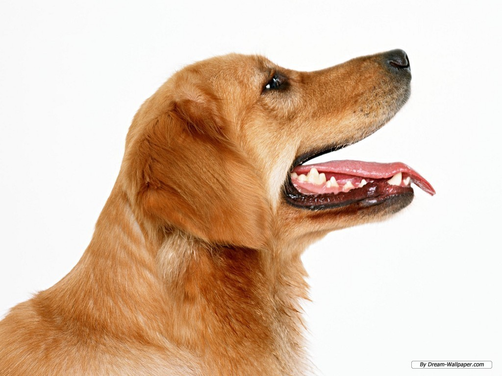 Pitchers Beagle Dogs
