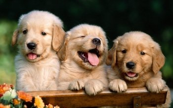 564 Puppy HD Wallpapers   Background Images   Wallpaper Abyss HD Wallpaper   Background Image ID 371093