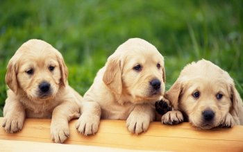 565 Puppy HD Wallpapers   Background Images   Wallpaper Abyss HD Wallpaper   Background Image ID 380979  1920x1200 Animal Puppy