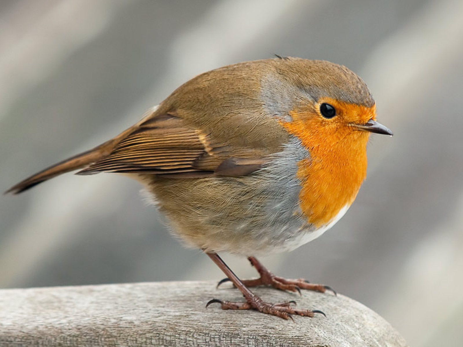 Robin Wallpaper and Background Image | 1600x1200 | ID ...