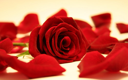 Flowers images Red Rose HD wallpaper and background photos  33341012  Flowers wallpaper containing a rose entitled Red Rose