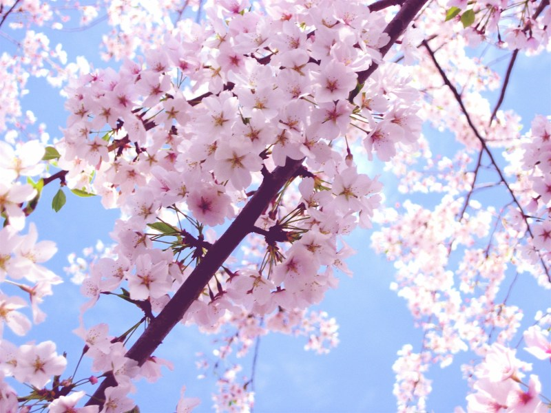 Cherry Blossom images Beautiful Cherry Blossom        HD wallpaper and     Cherry Blossom images Beautiful Cherry Blossom        HD wallpaper and  background photos