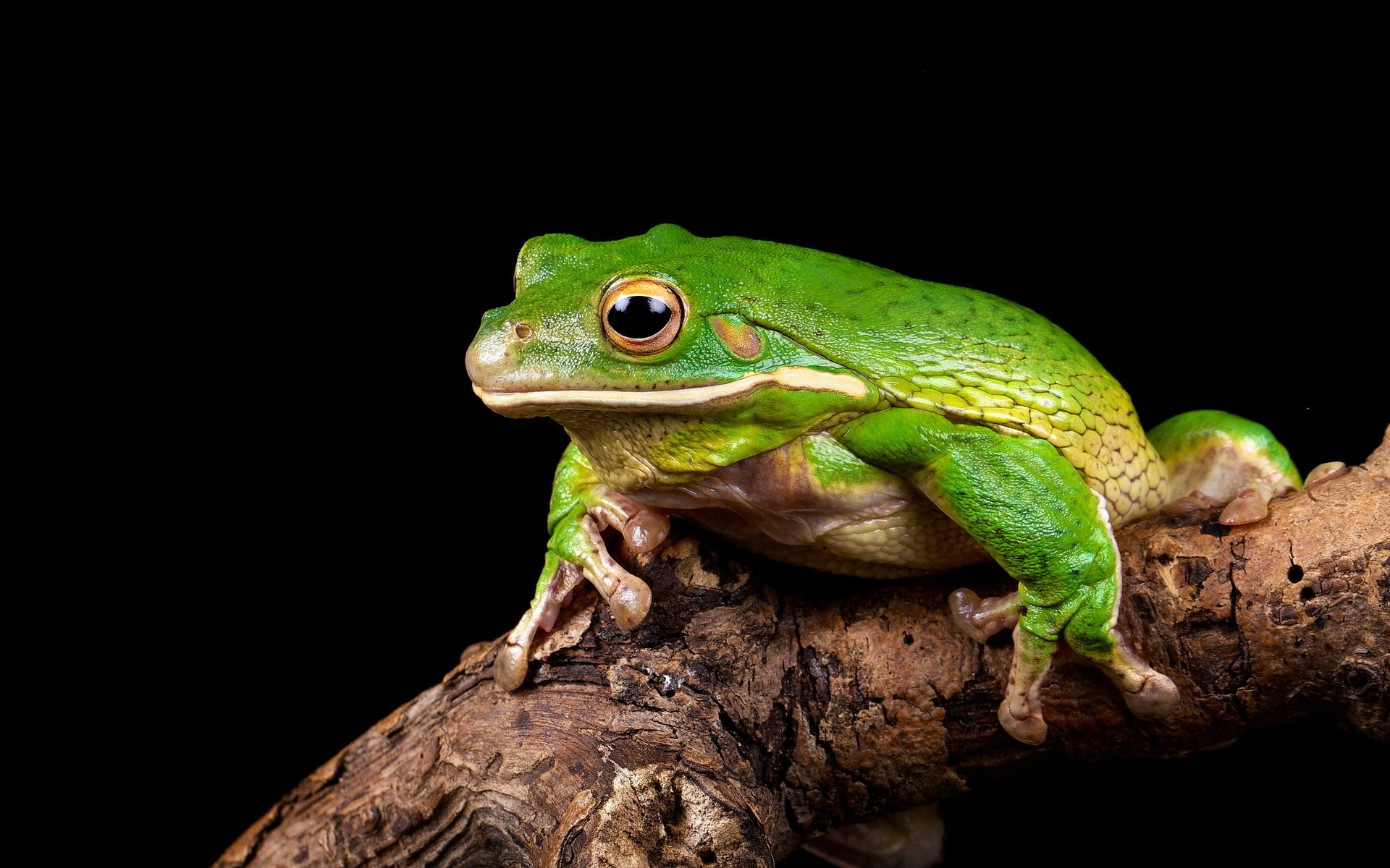 Frog Full HD Wallpaper and Background Image | 1920x1200 ...