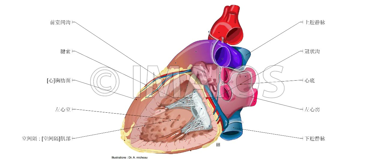 Heart Anatomy Coronary Sinus Images - human body anatomy