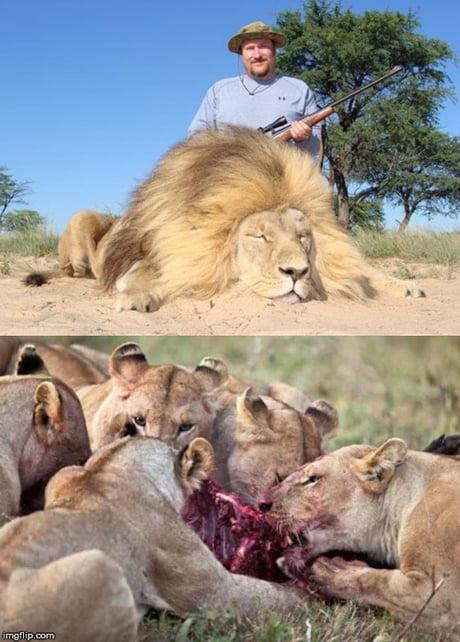 man eaten by lion - 460×642