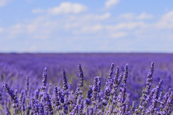The Difference Between Lavender   Culinary Lavender   Home Guides     Lavender flowers have a fresh  aromatic fragrance that is often used in  soaps and perfumes