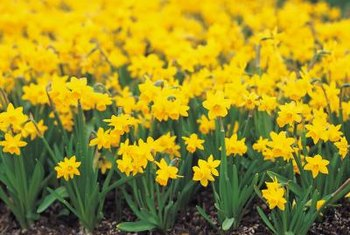 How to Propagate a Daffodil Flower   Home Guides   SF Gate Daffodils need dividing when they begin to flower poorly or become  overcrowded