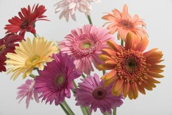 How to Promote New Buds on Gerbera Daisies   Home Guides   SF Gate Gerbera daisies have large  boldly colored flowers