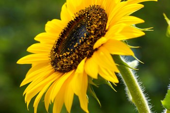 What Should You Do With Sunflowers After They Bloom    Home Guides     Sunflower seeds attract birds and wildlife