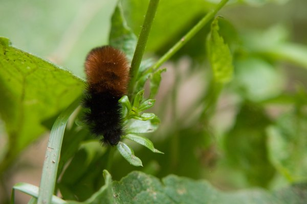 Brown Caterpillars Turn Do And Fuzzy What Black
