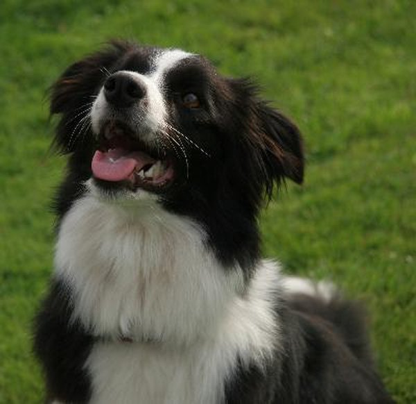 Rescue Border Az Australian Collie Shepherd