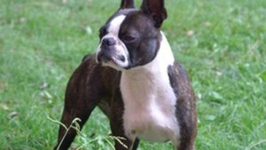 Recommended Dog Foods For Boston Terriers Pets