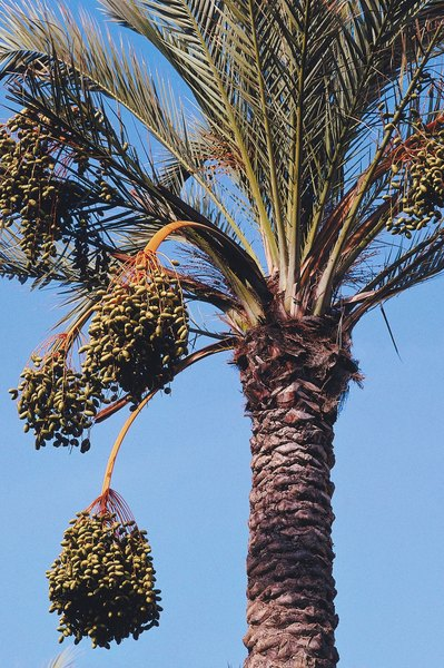 What Grows Palm Trees