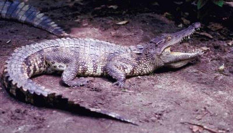 Image of: Crocodylus Rhombifer Jupiterimagesphotoscomgetty Images Wikipedia Crocodile Facts For Kids Animals Momme