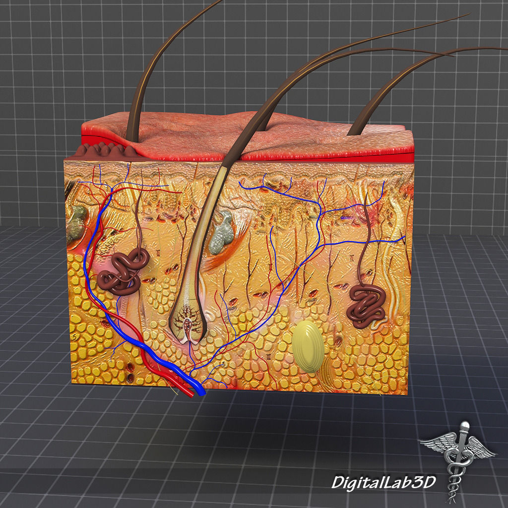 Layers Skin Diagram 3d Project