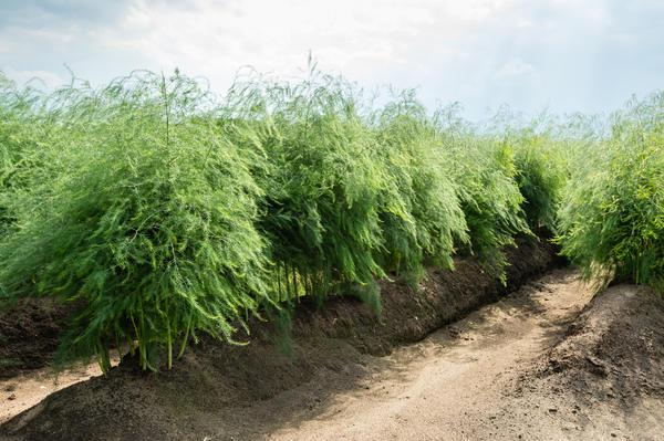 Спаржа немесе спаржа - биіктігі 1,5 м дейін көпжылдық шөпті өсімдік