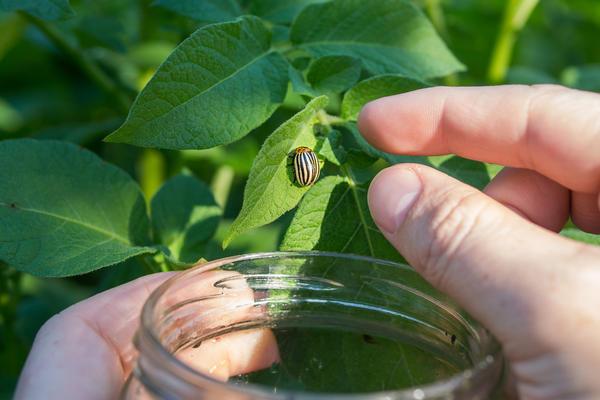 Старый добрый способ работает при малой численности колорадского жука