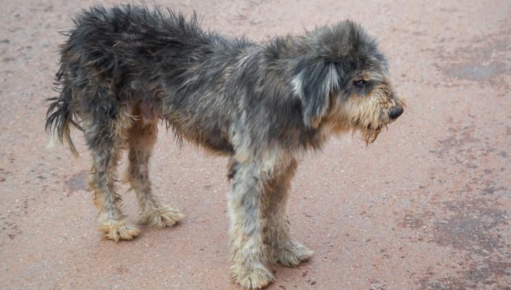 Uld - Hundesundhedsindikator
