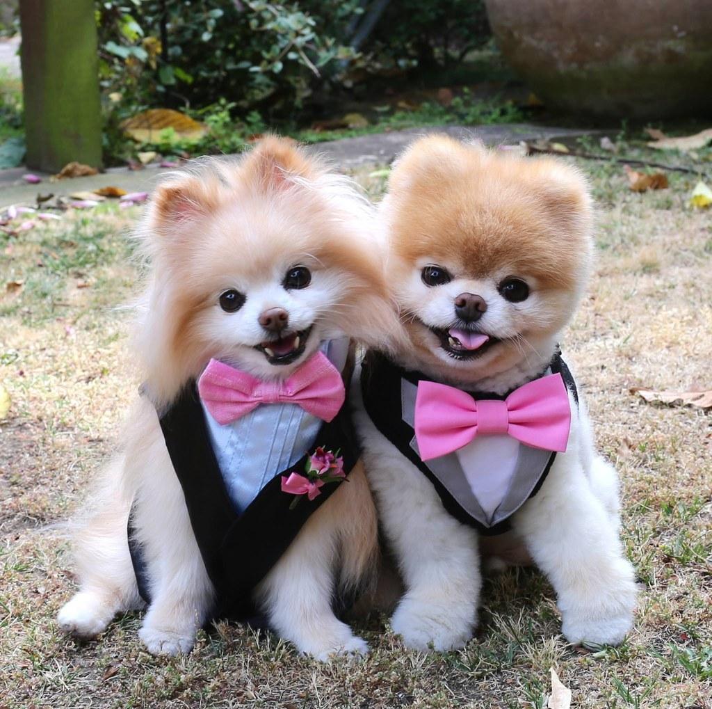 Dog Boo Pomeranian Kennel