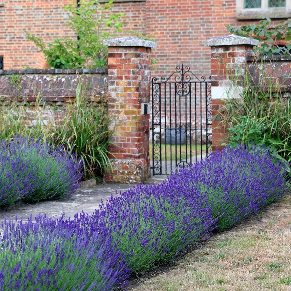 Buy Lavender Lavandula Angustifolia Hidcote 163 11 04
