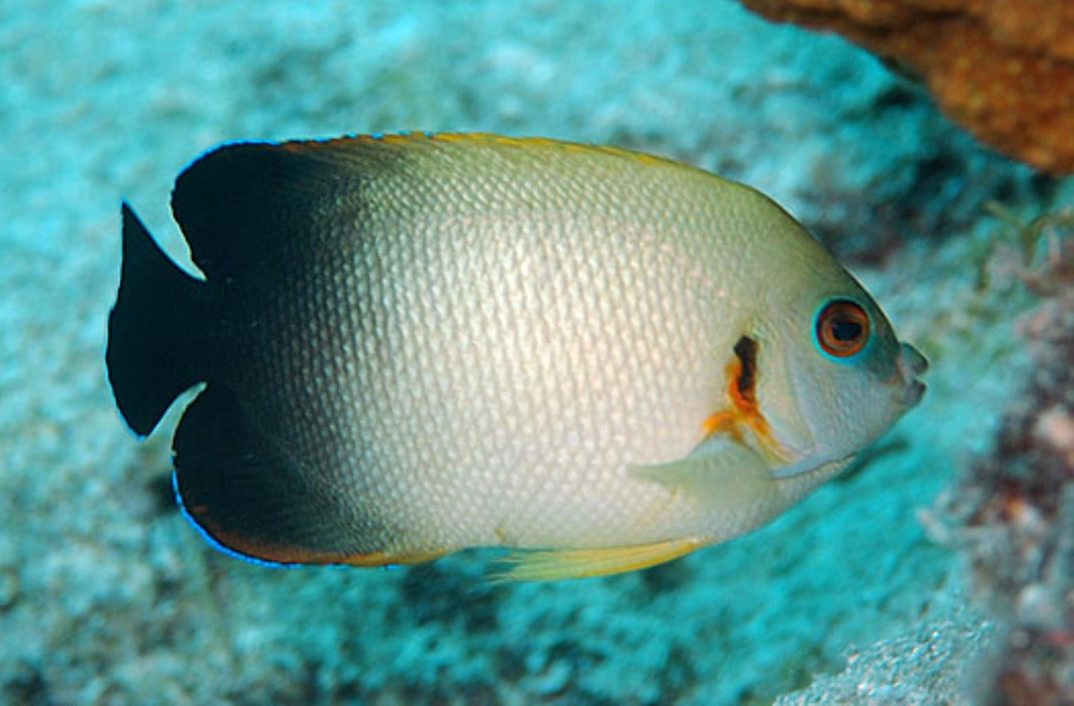 Pearlscale Angelfish Information And Picture Sea Animals
