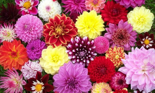 21 Most Sun Kissed Flowers in Season for July Wedding   EverAfterGuide Dahlias