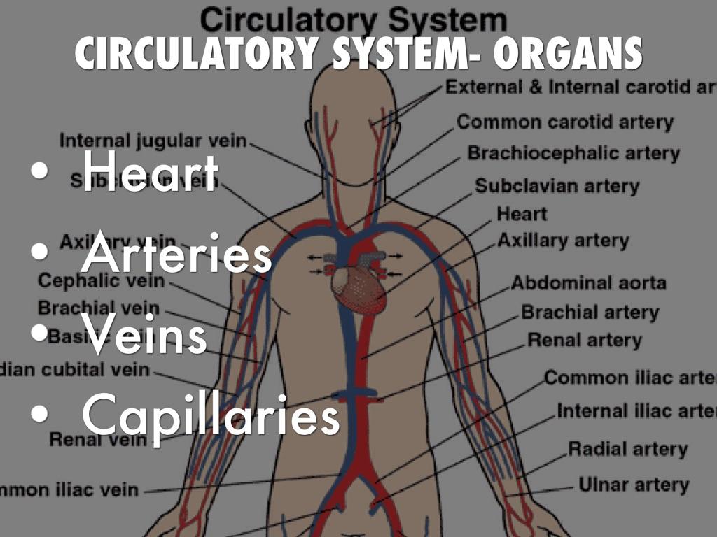 circulatory system organs - HD1024×768