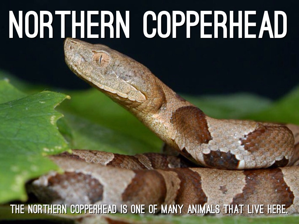 northern copperhead map - 887×529
