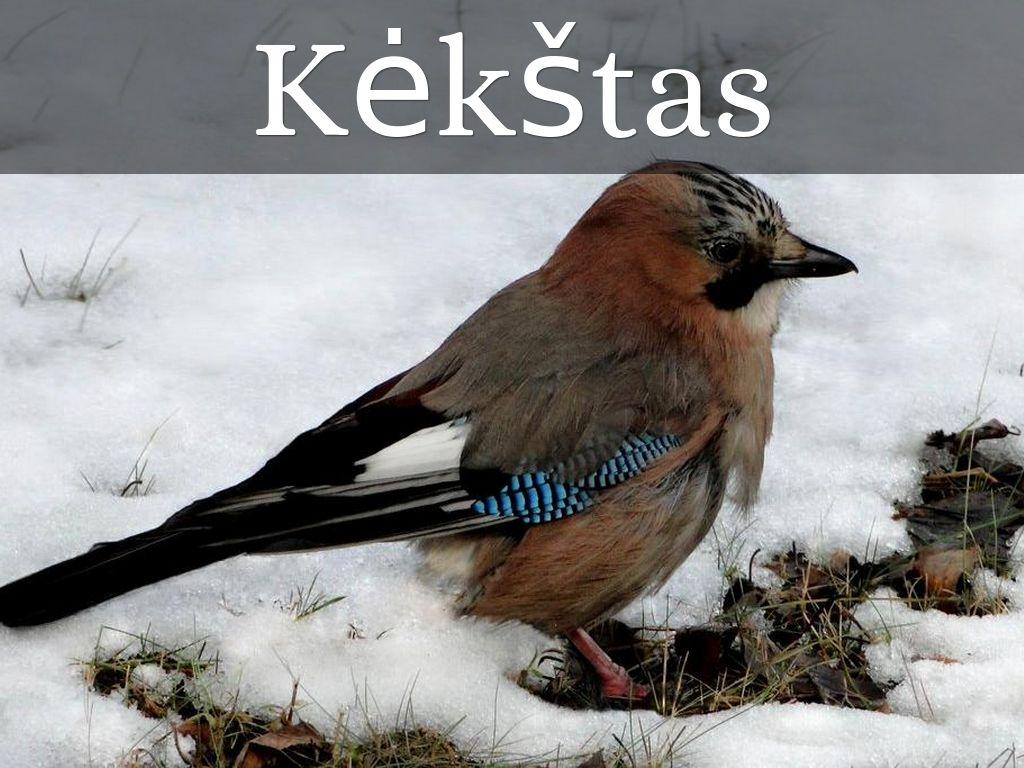 Lietuvoje žiemojantys Pauk čiai By Svirskajateresa