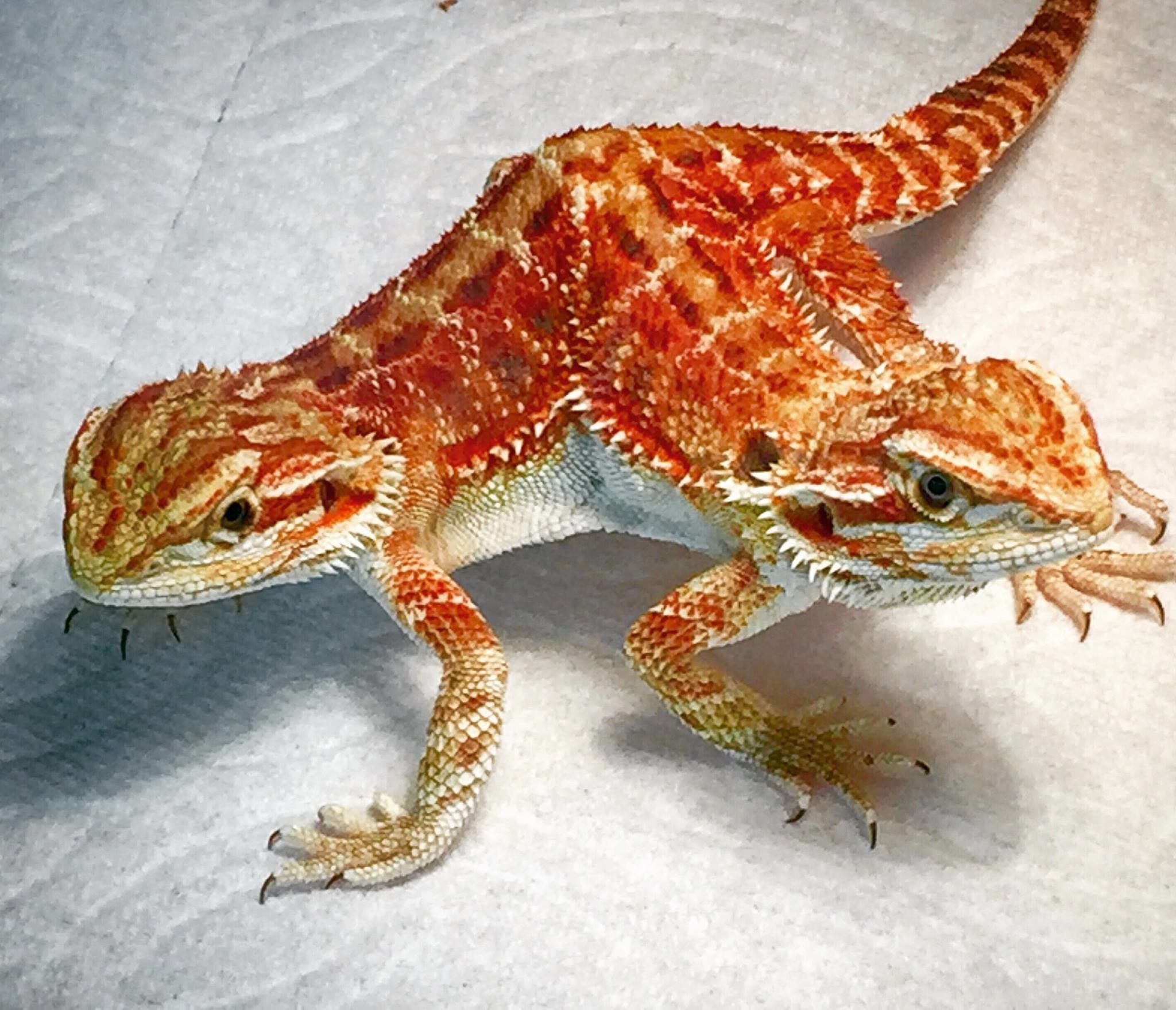 Check Out The Most Beautiful 2-Headed Bearded Dragon We've ...