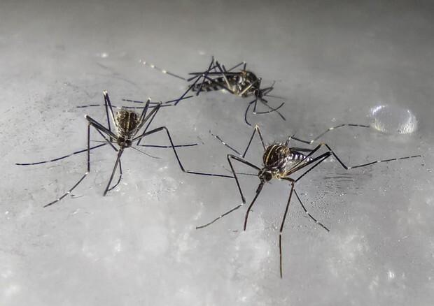 La zanzara coreana resistente al freddo è arrivata in Lombardia: sempre più diffusa