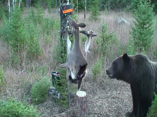 Bears Are Smart And Persistent Animals Video Izismile Com