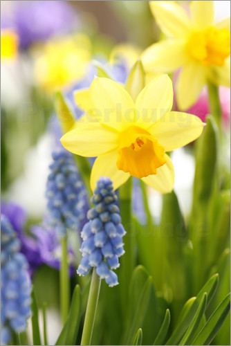 Sweet INK Daffodils  Easter flowers  Easter bells  grape hyacinths     Poster Daffodils  Easter flowers  Easter bells  grape hyacinths  onion  plants