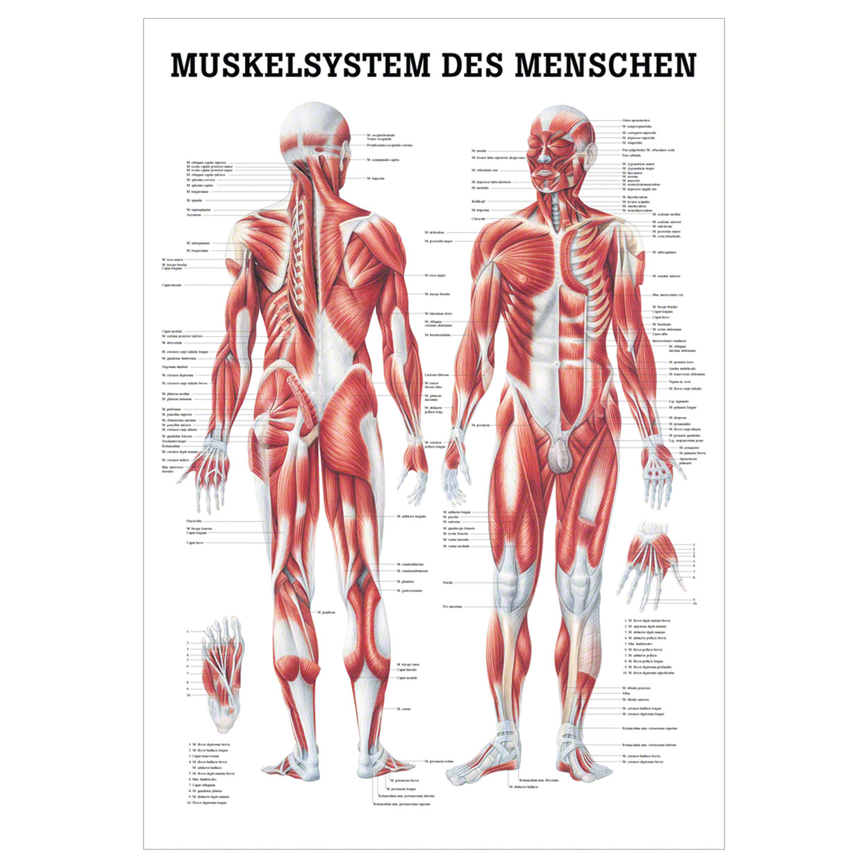 Muscular Skeletal System Drawing