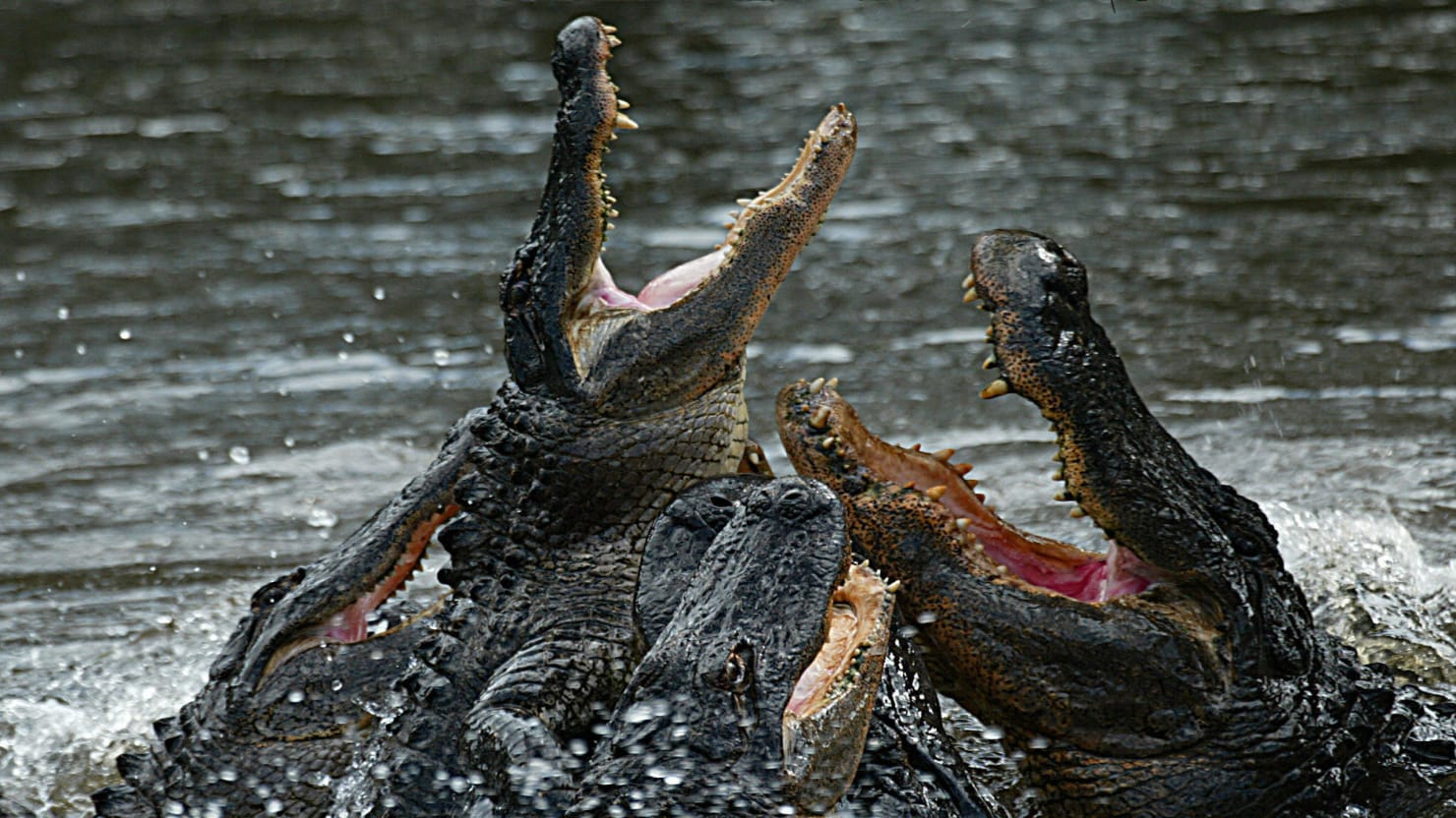 man eaten by crocodile - 1280×720